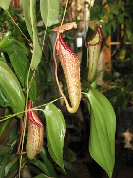 Tropical carnivorous pitcher plant